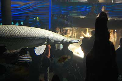 Alligator Gar in an aquarium
