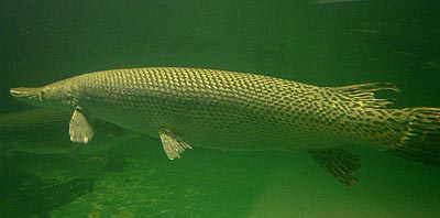 Fishing for Alligator Gar