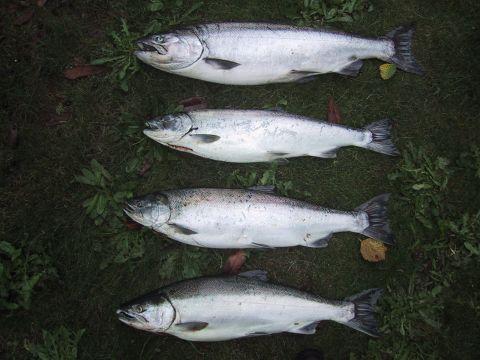 columbia river silver salmon fishing!