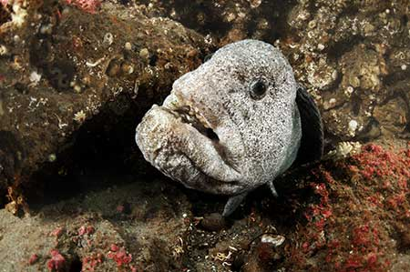 Single Wolf Fish Resting in Rocks