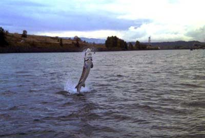 Sturgeon jumping out of the water