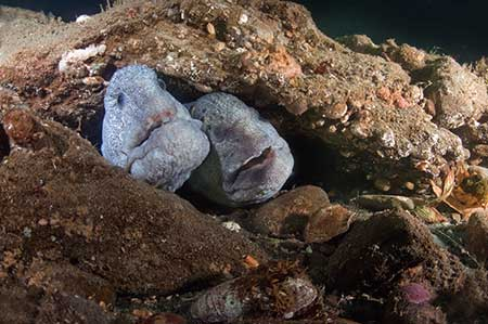 Two Wolf Eels in rocks