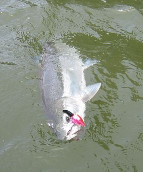 Columbia River Summer Steelhead fishing!