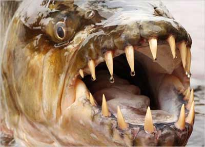 Goliath Tiger Fish Mouth