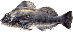 Kelp Greenling (Sea Trout)